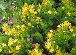 Растения вызывающие фотодерматоз