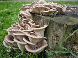 грибы вешенки в природе фото
